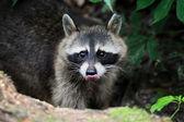 Raccoon — Foto Stock