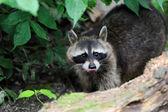 Raccoon — Stockfoto