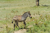 Baby zebra — Stock Photo