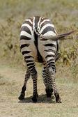 Zebra tail — Stock Photo