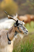 Goat in meadow — Stock Photo