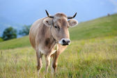 Cow in nature — Stock Photo