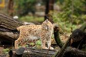Genç lynx — Stok fotoğraf