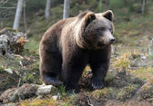 Big bear in forest — Stock Photo