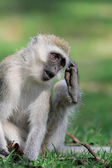 Vervet maymun — Stok fotoğraf