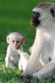 Macaco vervet — Foto Stock