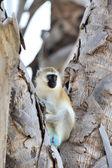 Opice kočkodani — Stock fotografie
