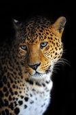 豹 — 图库照片