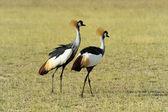Crowned crane — Stock Photo
