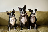 Three Boston Terriers sitting on couch — Stock Photo