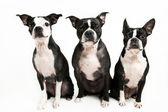 Three Boston Terrier's on a white background — Zdjęcie stockowe
