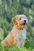 Tibetan Terrier puppy sitting — Zdjęcie stockowe