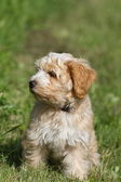 Tibetan Terrier puppy portrait — Stock Photo