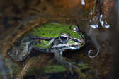 Green frog in the water — Stock Photo