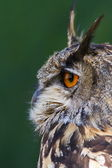 Eagle owl from side — Stock Photo