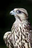 Falcon with dark background — Stock Photo