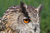 Very close up head of eagle owl — Stock Photo