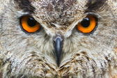 Eagle owl detail of face — Stock Photo