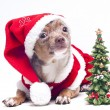 Christmas chihuahua - Stock Photo