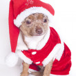 Christmas chihuahua — Stock Photo