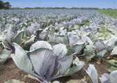 フィールド農業作物 — ストック写真