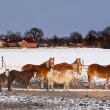 Stock Photo: Horses in snow