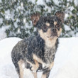 Chihuahua in the snow — Stock Photo