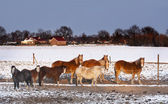 Horses in the snow — Stock Photo