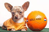 Chihuahua with orange ball — Stock Photo