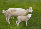 Sheep on a farm — Stock Photo