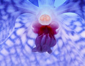 Blue vanda orchid flower detail — Stock Photo