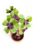 Four leaf clover — Stock Photo