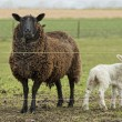 Stock Photo: Sheep in meadow