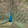 Male peacock — Stock Photo