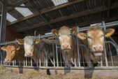 Cows feed in a stable — Stock Photo