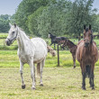 Horses in a meadow — Foto Stock