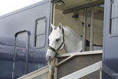 A white horse standing in a trailer — Stock Photo