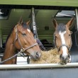 Stock Photo: Horses in trailer