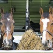 Horses in a trailer — Stock Photo