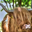 Royalty-Free Stock Photo: Highland cow