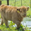 Highland calf — Stock Photo