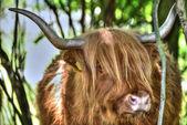 Highland cow — Stock Photo