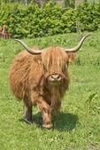Krowa średniogórza — Zdjęcie stockowe