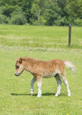 Foal in a meadow — Stock Photo