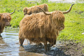 Highland cows and calf — Stock Photo