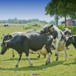 Cows in a meadow — Stock Photo