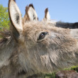 Stock Photo: Donkey in a meadow