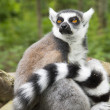 Maki lemur catta in a tree — Stock Photo