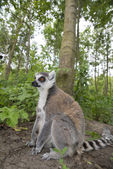 Maki lemur catta in a forest — Stock Photo