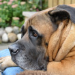 Boerboel — Stock Photo